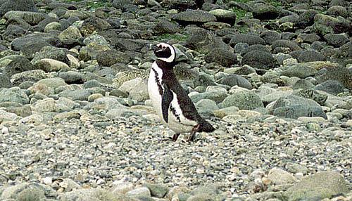 マゼランペンギン飼育数日本一120羽以上!