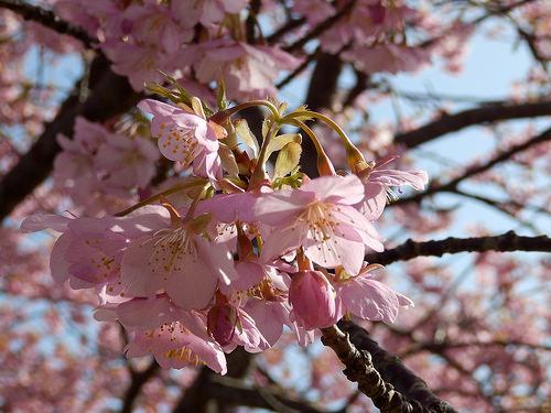 河津桜が名所