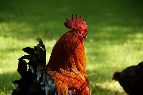 のびのび育てられた赤鶏